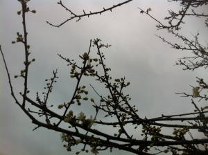 Cherry Blossom Haiku