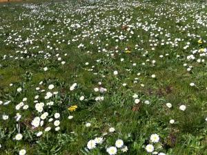 daisies 022
