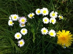 daisies 025