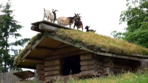 goat on roof 1