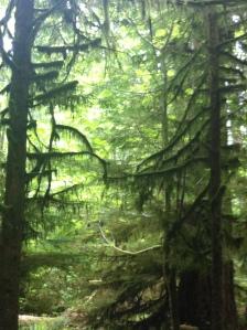 big trees 002
