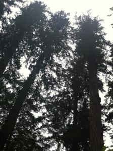 big trees 003