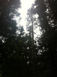 big trees 007