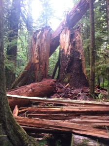 big trees 018