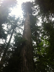 big trees 023