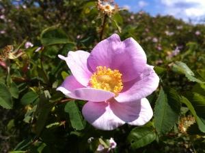 nootka rose 070