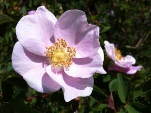 nootka rose 077
