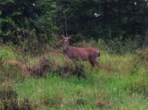 deer june 014