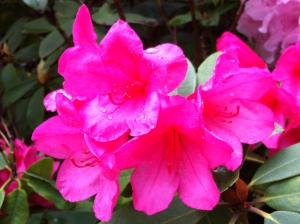 Rhododendron Haiku