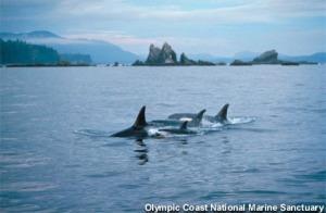 orcas_100