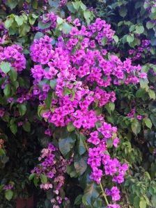 Bougainvillea Haiku