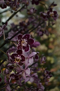 kew gardens orchids 056