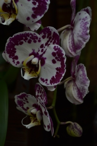 kew gardens orchids 081
