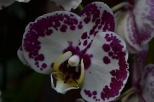 kew gardens orchids 085