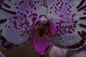 kew gardens orchids 086