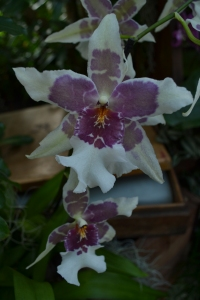 kew gardens orchids 094