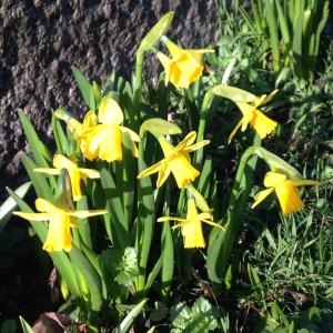 spring crocuses 075