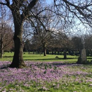 spring crocuses 093