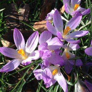 spring crocuses 098