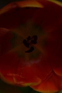 tulips 045