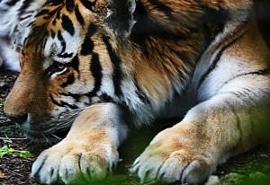 tiger 12